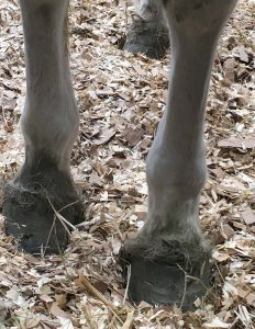 Dead Sea Mineral Mud and individually selected Essential Oils applied topically to laminitic hooves.
